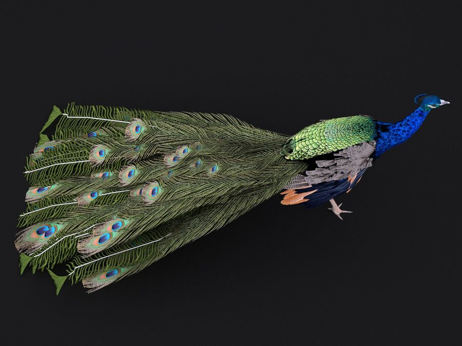 Peacock royalty-free 3d model - Preview no. 8
