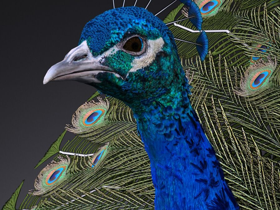 Peacock royalty-free 3d model - Preview no. 4