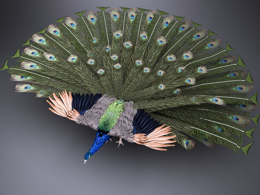 Peacock royalty-free 3d model - Preview no. 2