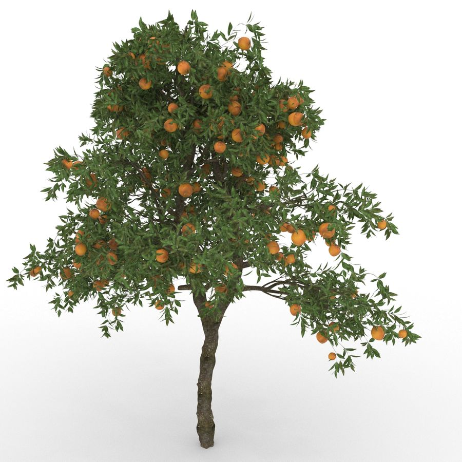 laranjeira (Citrus sinensis) royalty-free 3d model - Preview no. 1