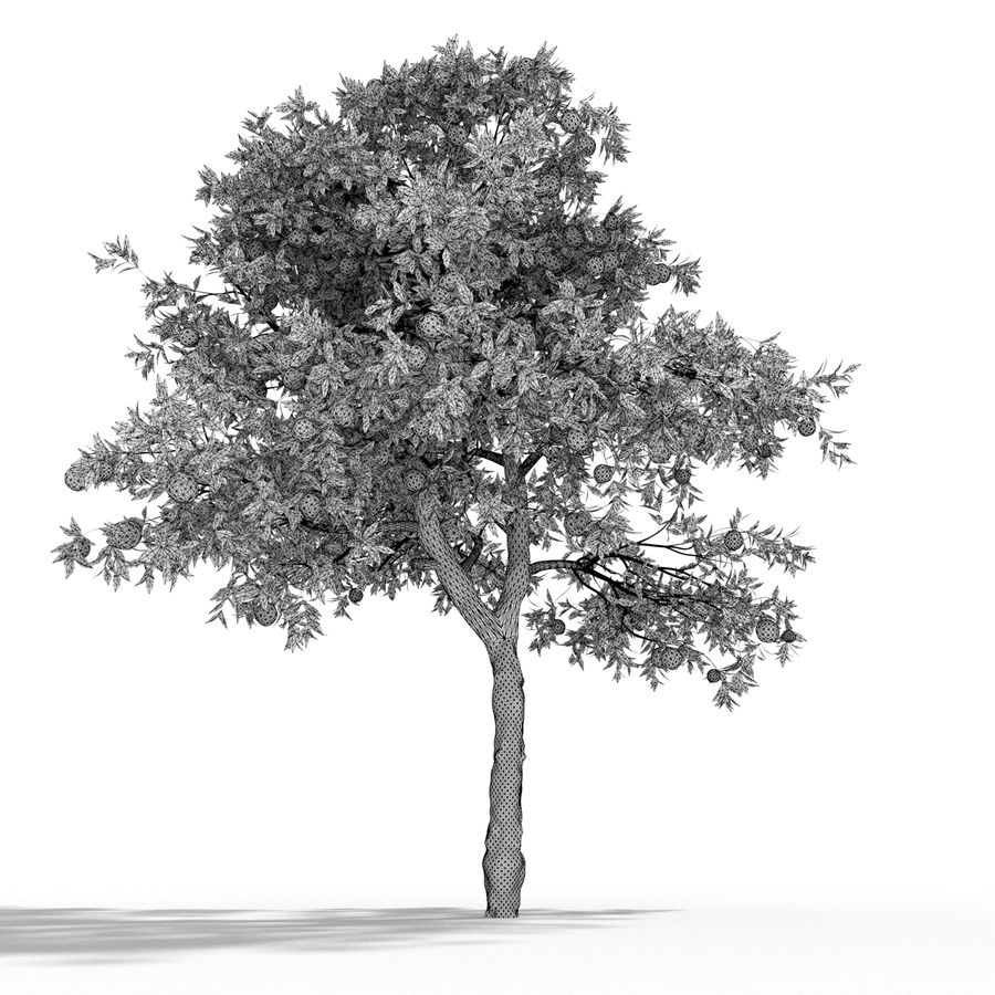laranjeira (Citrus sinensis) royalty-free 3d model - Preview no. 5