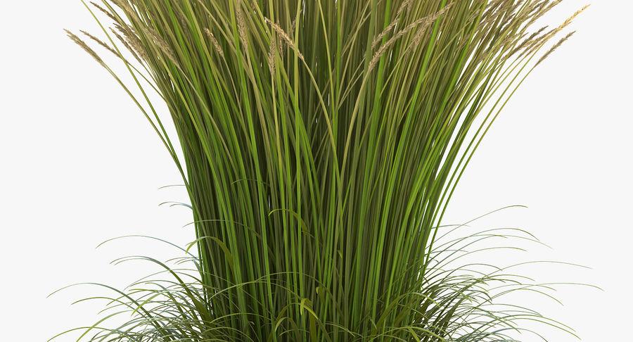 Calamagrostis Karl Foerster Grass royalty-free 3d model - Preview no. 6