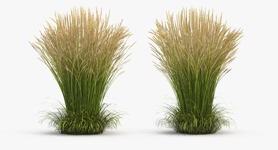 Calamagrostis Karl Foerster Grass royalty-free 3d model - Preview no. 3