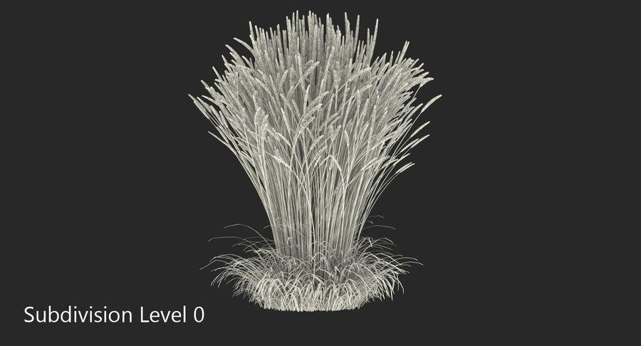 Calamagrostis Karl Foerster Grass royalty-free 3d model - Preview no. 8