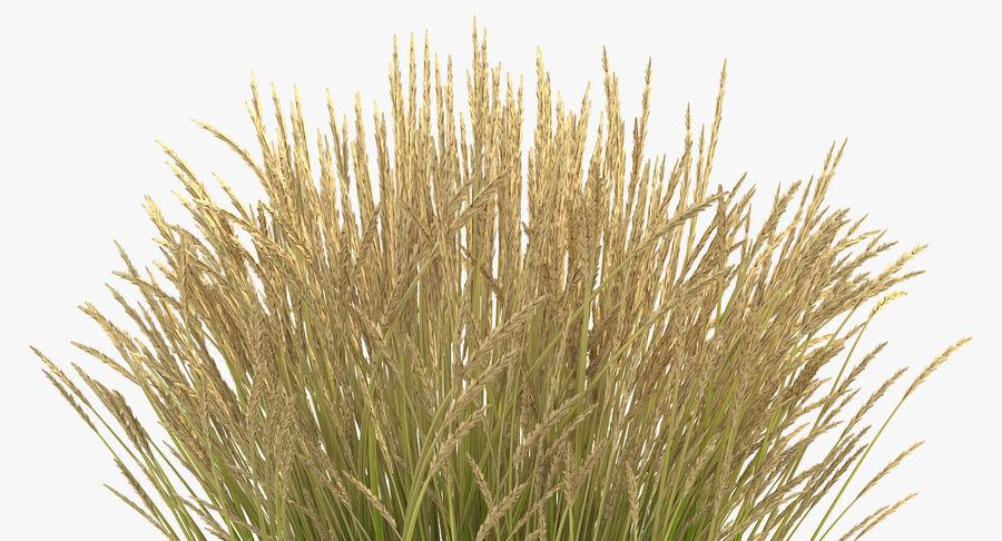 Calamagrostis Karl Foerster Grass royalty-free 3d model - Preview no. 7