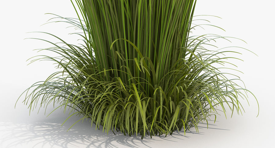 Calamagrostis Karl Foerster Grass royalty-free 3d model - Preview no. 5