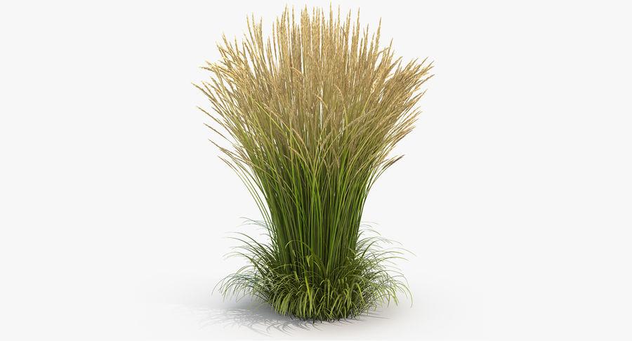 Calamagrostis Karl Foerster Grass royalty-free 3d model - Preview no. 2