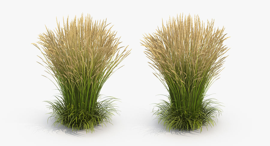Calamagrostis Karl Foerster Grass royalty-free 3d model - Preview no. 4