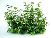 Framboise Set Rubus Bush 3d model