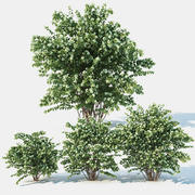 Philadelphus Coronarius 3 sizes. More blossom 3d model