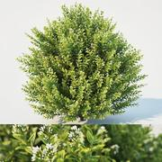 Ligustrum ovalifolium blossom bush H 130 3d model
