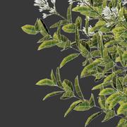 Ligustrum ovalifolium blossom bush H 130 3d model