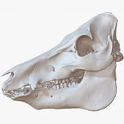 全猪肉头骨原始扫描 3d model