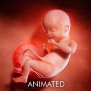 Foetus Week 21 3d model