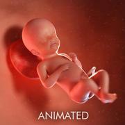 Semaine du fœtus 23 3d model