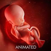 Fetus Week 24 3d model