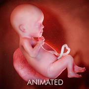 Semaine du fœtus 26 3d model