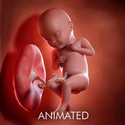 Foetus Week 32 3d model