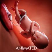 Semaine du fœtus 36 3d model