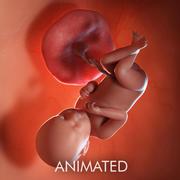 Semaine du fœtus 39 3d model