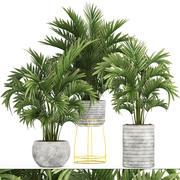 Ховея Пальмы 3d model