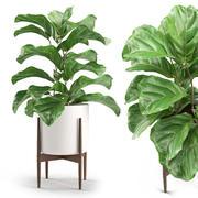 植物012  - イチジクLyrata 3d model