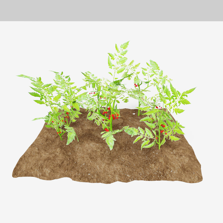 Tomato 3 growth stages royalty-free 3d model - Preview no. 3