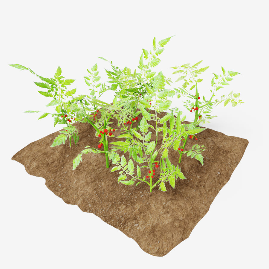 Tomato 3 growth stages royalty-free 3d model - Preview no. 1