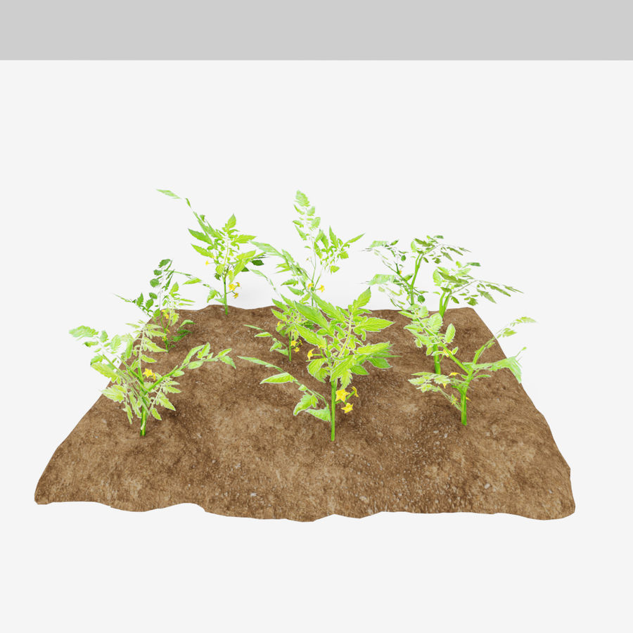 Tomato 3 growth stages royalty-free 3d model - Preview no. 6