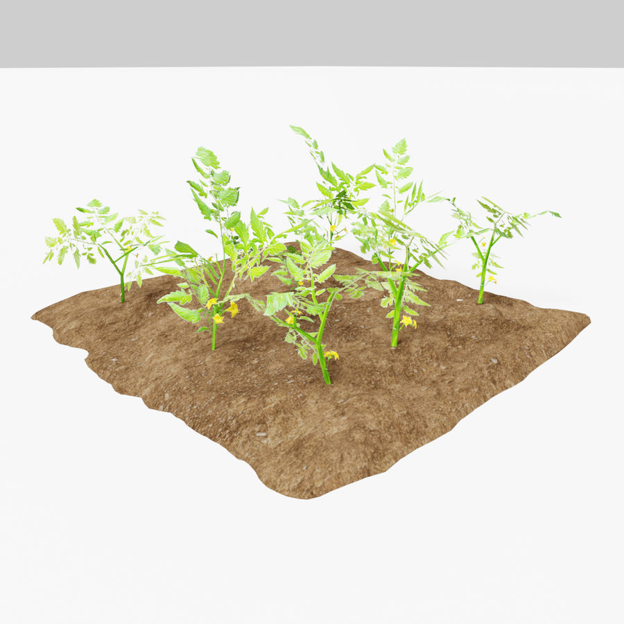 Tomato 3 growth stages royalty-free 3d model - Preview no. 4