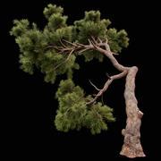 곡선 소나무 3d model