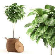 Plant 011 - Ficus Lyrata 3d model