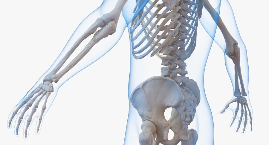 Męskie ciało ze szkieletem royalty-free 3d model - Preview no. 7