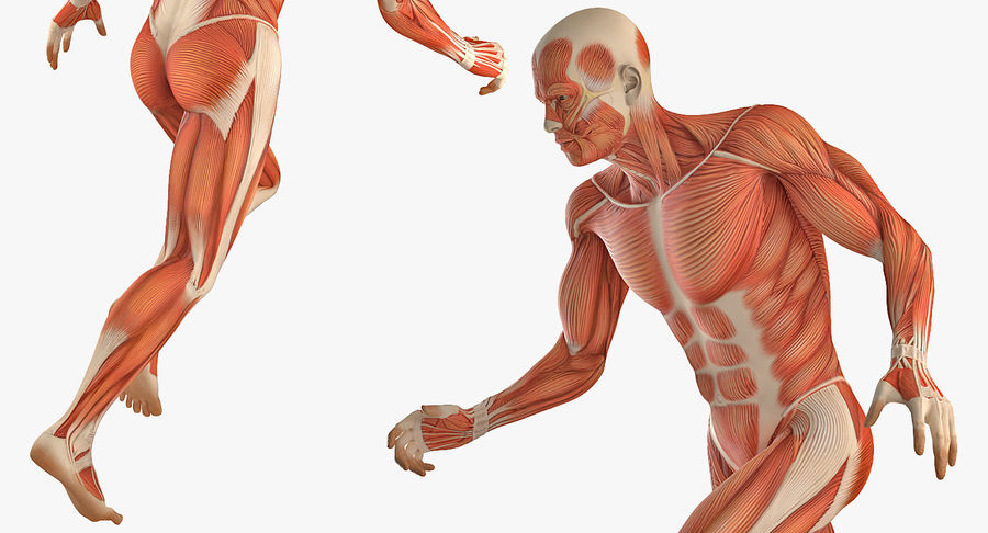 Running Man Muscles Anatomy System royalty-free 3d model - Preview no. 6