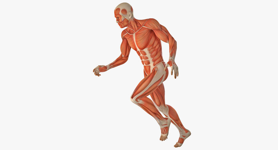Running Man Muscles Anatomy System royalty-free 3d model - Preview no. 2