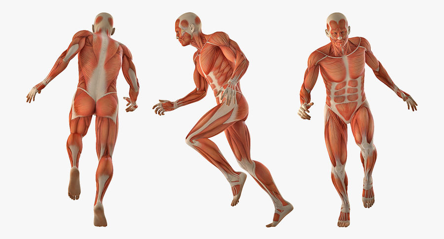 Running Man Muscles Anatomy System royalty-free 3d model - Preview no. 3