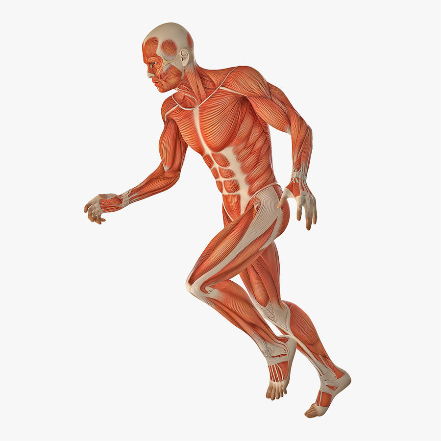 Running Man Muscles Anatomy System royalty-free 3d model - Preview no. 1