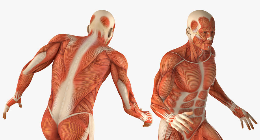 Running Man Muscles Anatomy System royalty-free 3d model - Preview no. 7
