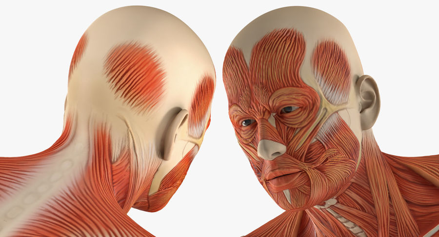 Running Man Muscles Anatomy System royalty-free 3d model - Preview no. 10