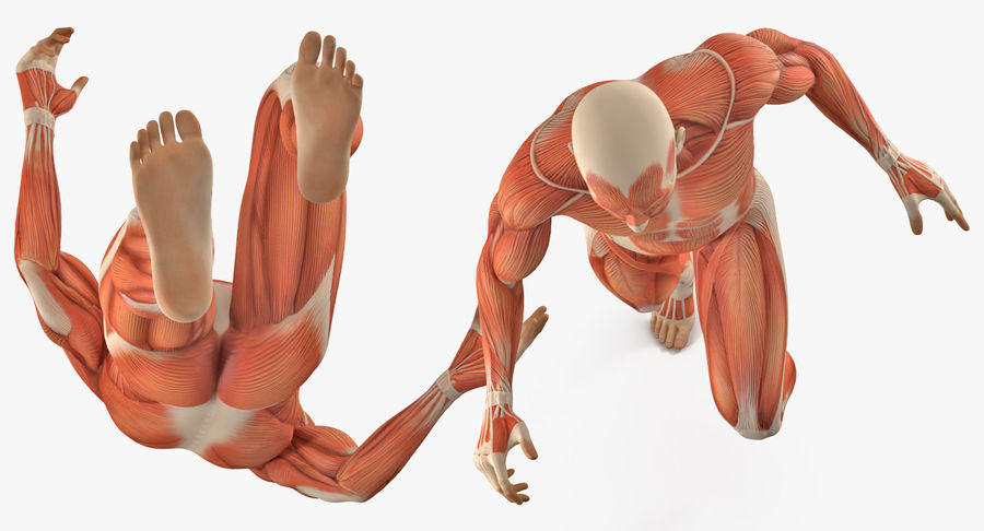 Running Man Muscles Anatomy System royalty-free 3d model - Preview no. 5