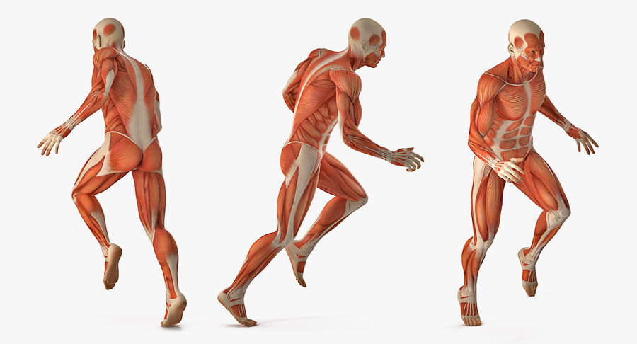 Running Man Muscles Anatomy System royalty-free 3d model - Preview no. 4
