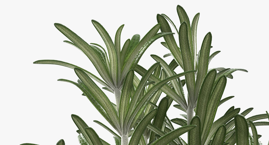 Rosemary Plant in Pot royalty-free 3d model - Preview no. 10