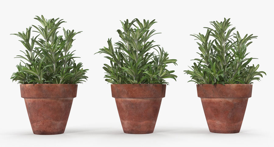 Rosemary Plant in Pot royalty-free 3d model - Preview no. 6