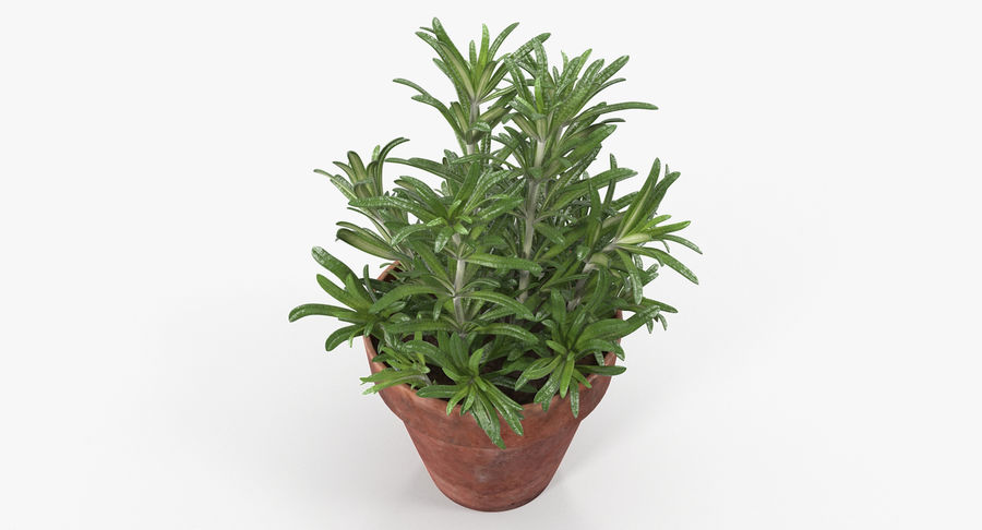 Rosemary Plant in Pot royalty-free 3d model - Preview no. 3