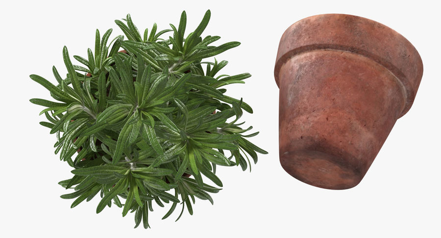 Rosemary Plant in Pot royalty-free 3d model - Preview no. 8
