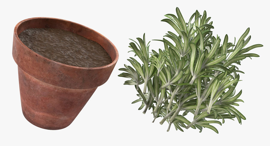 Rosemary Plant in Pot royalty-free 3d model - Preview no. 9