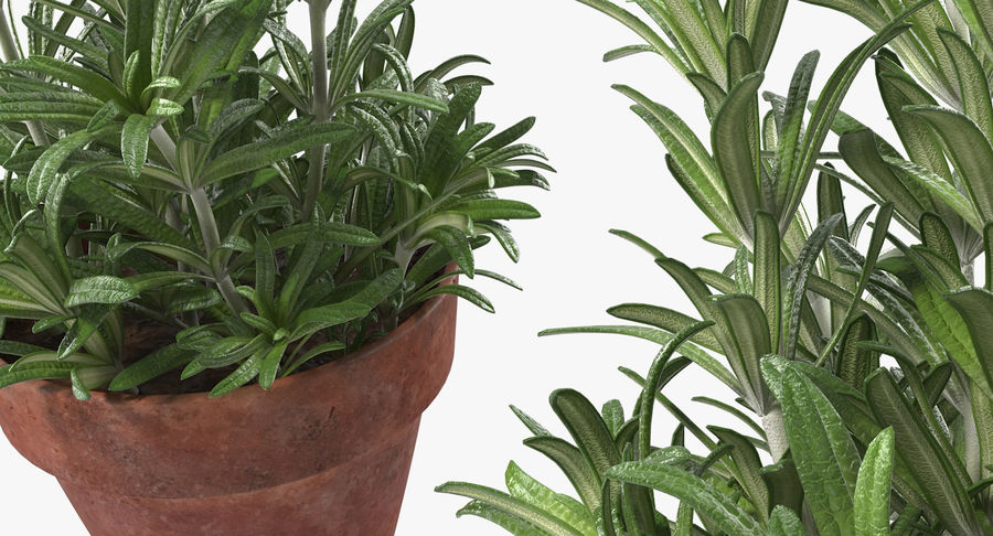 Rosemary Plant in Pot royalty-free 3d model - Preview no. 7