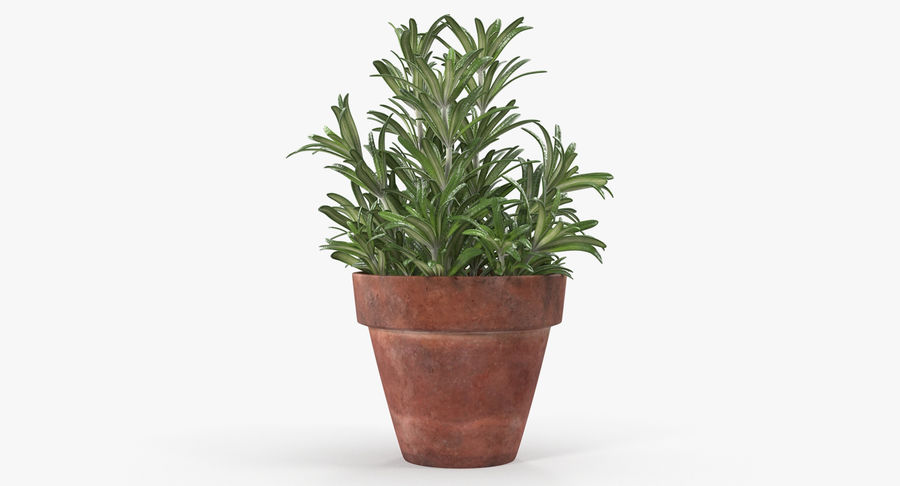 Rosemary Plant in Pot royalty-free 3d model - Preview no. 2