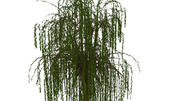 Willow tree 10 3d model