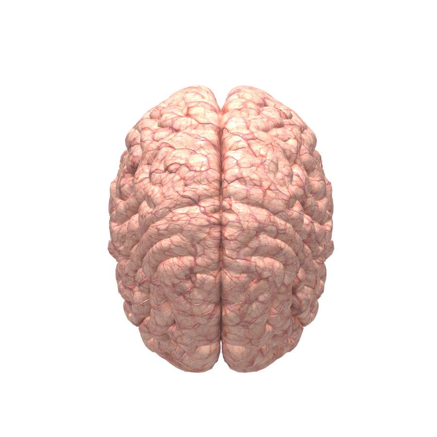 Anatomi Brain nervös hjärnsystem royalty-free 3d model - Preview no. 3